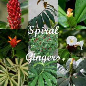 Spiral Gingers